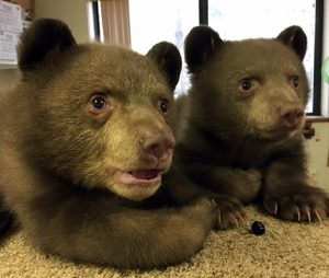 bear cubs tahoe
