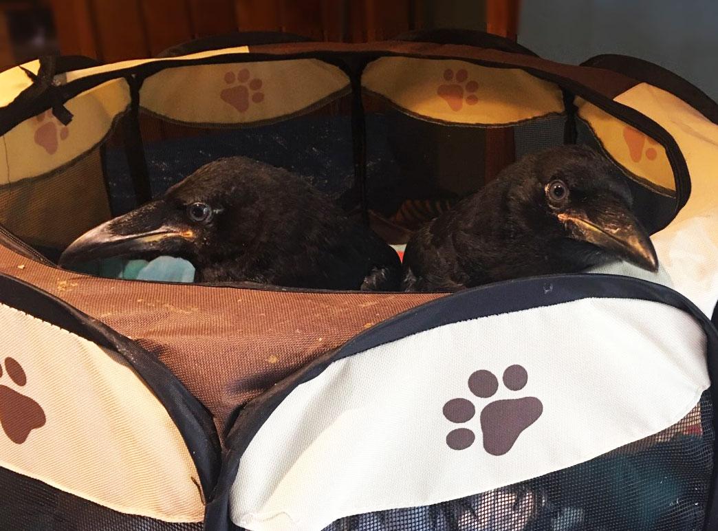 baby raven birds lake tahoe wildlife care